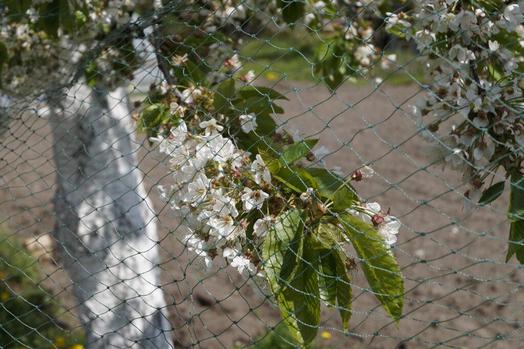 Siatki na drzewa owocowe na plantacje